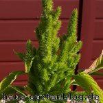 Amaranthpflanze-150x150 in Amaranth - Pseudogetreide der Inkas