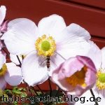Anemone1-150x150 in