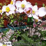 Anemone2-150x150 in Herbstanemone läutet Sommerende ein