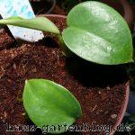 Babymonstera-150x150 in Pflegeleichte Zimmerpflanzen für jedermann