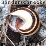 Bandschnecke-150x150 in Schnecken im Garten