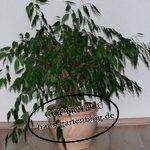Ficus-150x150 in