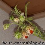 FruechteLitchitomate1-150x150 in Anbau von Litchitomaten