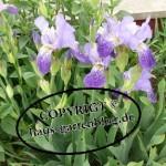 Iris-150x150 in