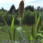 Kolbenhirse-150x150 in Der Anbau von Hirse im Garten