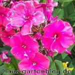 Phlox-150x150 in Phlox - ein Dauerblüher im Garten
