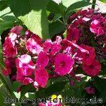 Phlox2-150x150 in Phlox - ein Dauerblüher im Garten