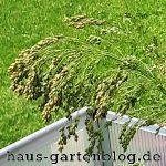 Rispe-150x150 in Der Anbau von Hirse im Garten