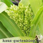 Rispe2-150x150 in Der Anbau von Hirse im Garten