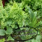 Salat-150x150 in Mischkulturen im Garten