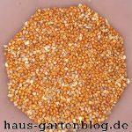 Samen-4-150x150 in Kolbenhirse ernten und verarbeiten