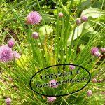 Schnittlauch-1-150x150 in Mischkulturen im Garten