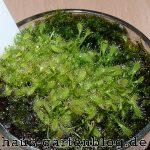 Sonnentaupflanzen2-150x150 in Grüne Fleischfresser im Wohnzimmer