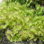 Sonnentaupflanzena-150x150 in
