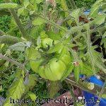 Tomate-1-150x150 in Sommerrückblick 2017 im Gartenblog
