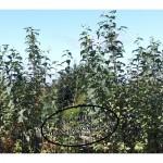 Topinamburpflanzen-150x150 in