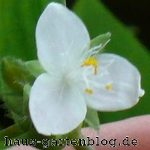 Tradescantiafluminensis-150x150 in Dreimasterblume als dankbare Zimmerpflanze