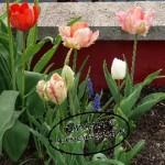 Tulpen10-150x150 in Frühblüher