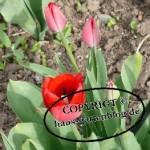 Tulpen13-150x150 in Frühblüher