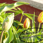 Tulpen4-150x150 in Frühblüher