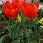Tulpen5-150x150 in Frühblüher