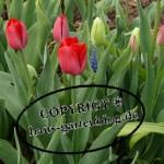 Tulpen6-150x150 in Frühblüher