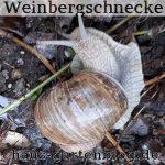 Weinberg-150x150 in Schnecken im Garten