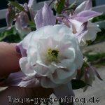 Akelei2-150x150 in Die Akelei - eine vielfältige Schönheit