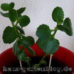 K Tchen2-150x150 in Flammendes Kätchen als dankbare Zimmerpflanze