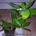Ponderosa-150x150 in Aus einem Kern ein Zitronenbäumchen ziehen